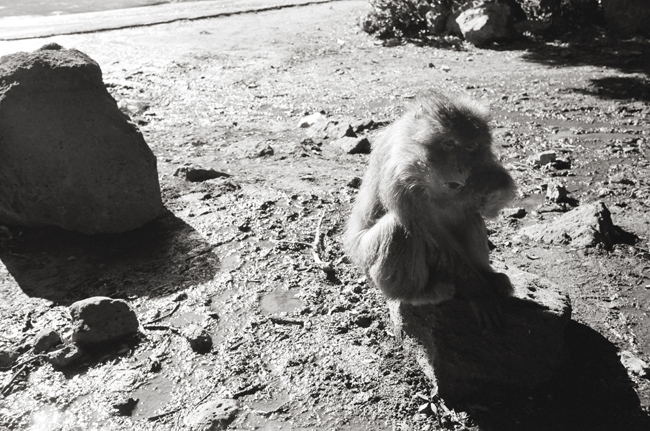 Barbary Macaque Monkeys, Middle Atlas Mountains, Morocco; Leica MP 0.58, 35mm Summicron, Kodak Tri-X  Doug Kim
